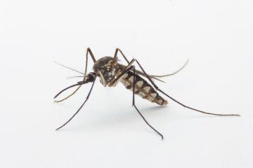 Zika mosquito in Florida