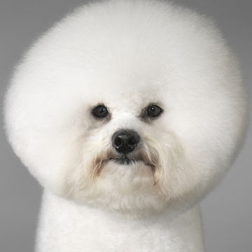 white-dog-puffy-hairdo_700x700_Getty-120523081.jpg